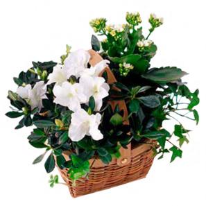 Blooming Plant Basket buy at Florist